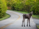 Moose on the way to Mauricie National Park