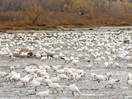 The Greater Snow Geese